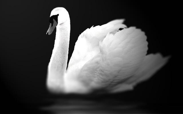 白鳥のモノクロ写真