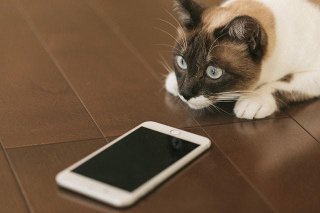スマートフォンを覗く猫